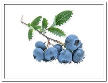 die Blaubeere, die Heidelbeere - jagoda, borówka