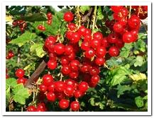 die rote Johannisbeere - czerwona porzeczka
