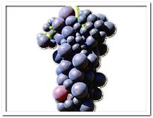 die Weintraube - winogrono